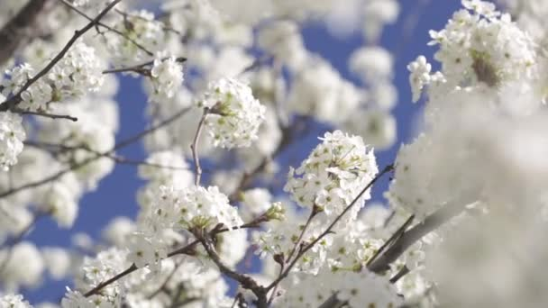 Early Spring White Cherry Tree Blossoms Blowing in the Breeze