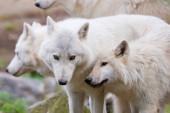 Egy csapat fehér sarkvidéki farkas.