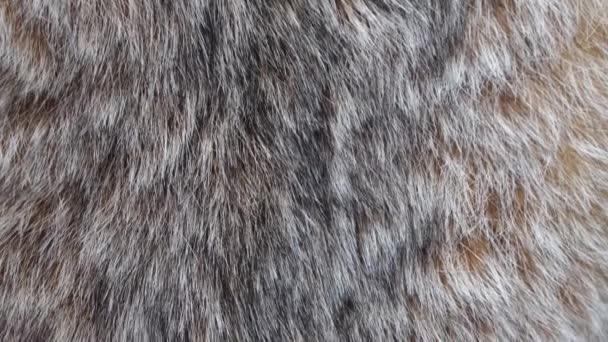 Close up of canadian lynx fur