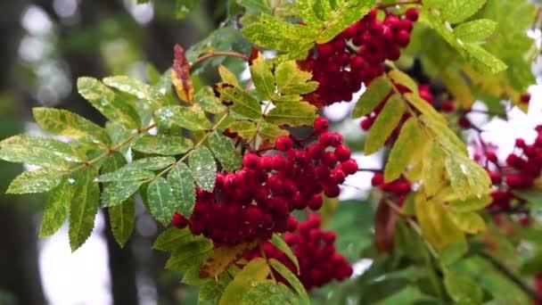 Vörösszemű vörösszemű bogyók a vörösszemű fák ágain.