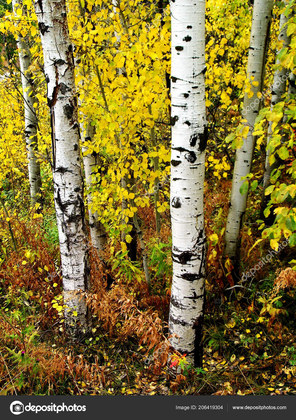Pictures Birch Trees In The Fall Fall Birch Trees Autumn Leaves Background Details Stock Photo C Eric1513 206419304