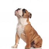 Fotografie Seitenansicht des niedlichen English Bulldog blickte sitzend auf weißem Hintergrund