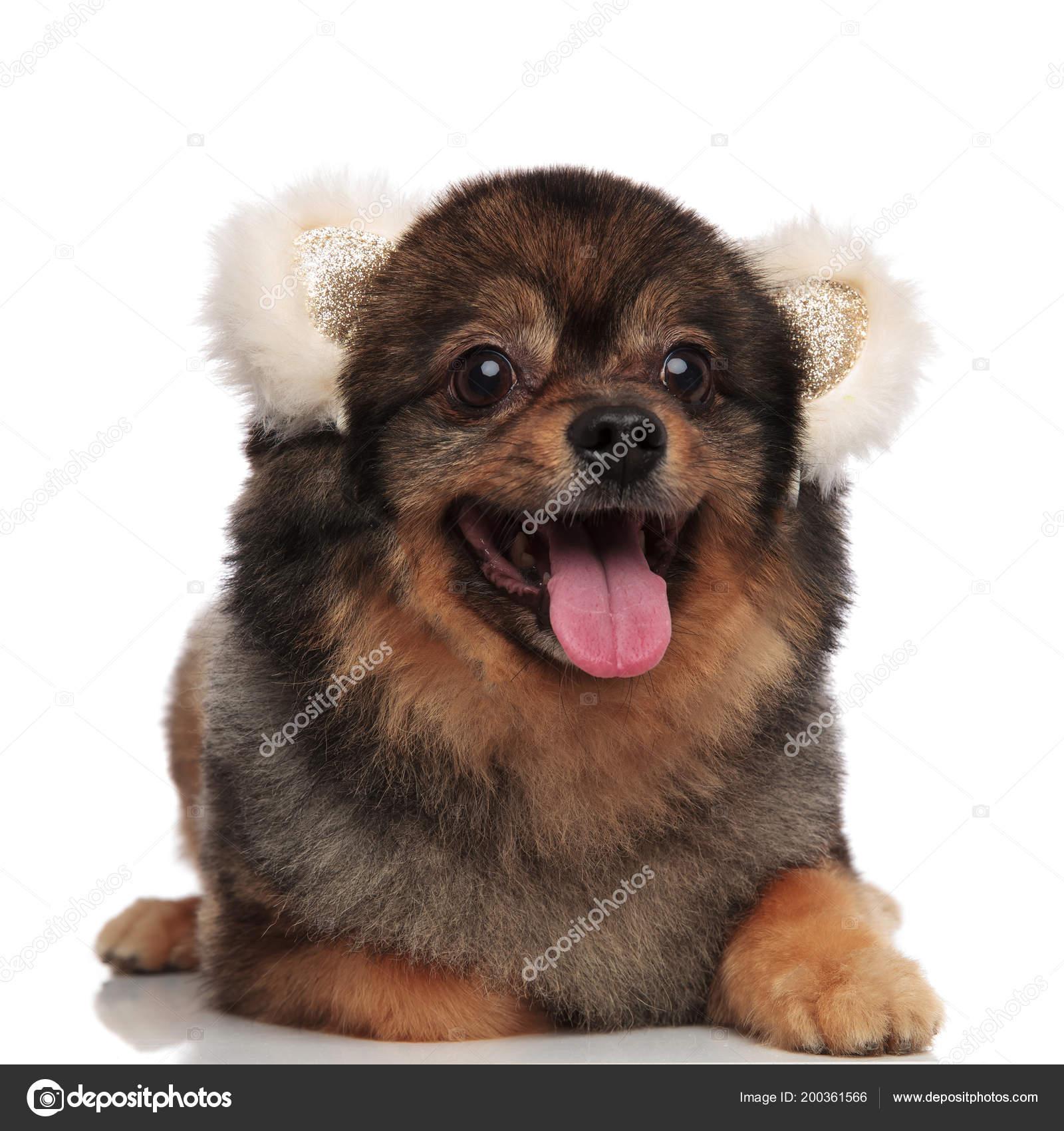 Glücklich Pom Hund Mit Weißer Bär Ohren Liegen Auf Weißem