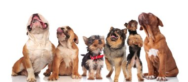 six cute dogs panting and looking up while standing and sitting on white background