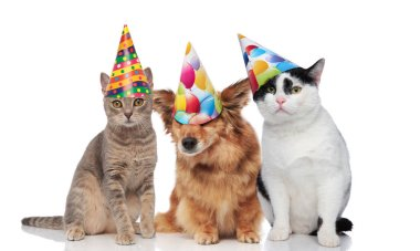 three mixed pets wearing colorful birthday caps while sitting on white background