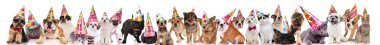 large group of cute cats and dogs wearing colorful birthday caps while standing, sitting and lying on white background