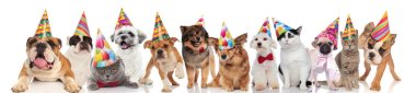 adorable cats and dogs attending a birthday party while standing, sitting and lying on white background