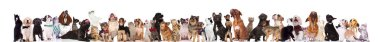 adorable team of cats and dogs look up while standing and sitting on white background. They are wearing elegant bowties, collars, and clothes