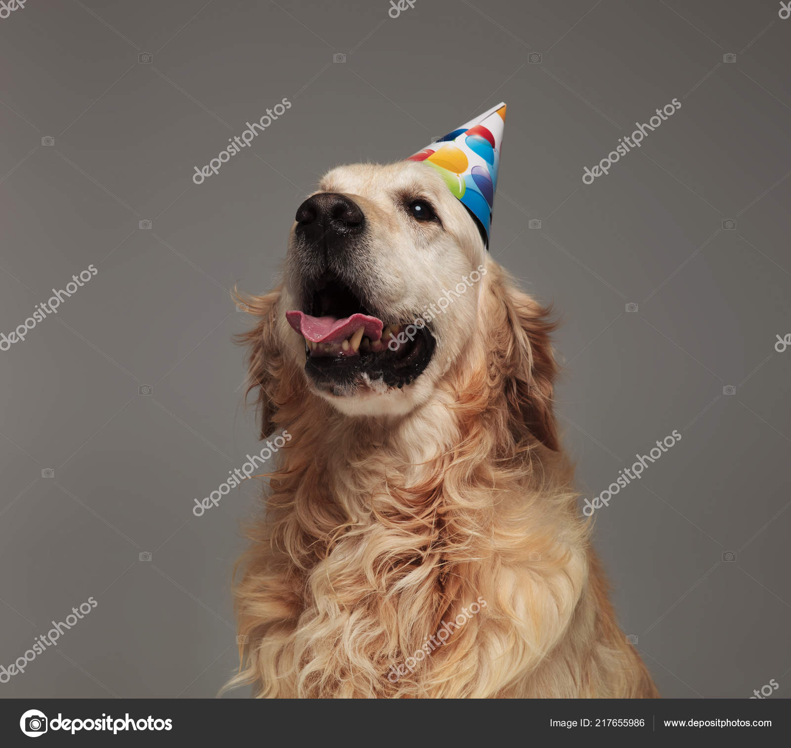 Head Happy Birthday Golden Retriever Tongue Exposed Looking Side