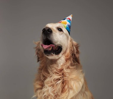 head of happy birthday golden retriever with tongue exposed looking up to side while standing on grey background