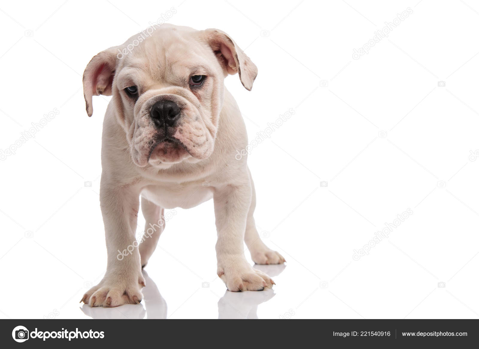White English Bulldog Puppy Standing White Background Looking Bored Stock Photo C Feedough 221540916