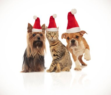 team of three cute christmas pets of different breeds wearing santa hats sitting and standing on white background