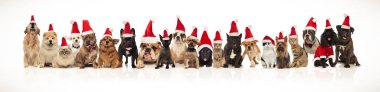 cute team of christmas cats and dogs wearing santa caps standing and sitting on white background
