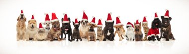 cute group of christmas cats and dogs of different breeds sitting and standing on white background and panting