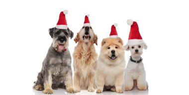 team of four cute santa dogs of different breeds panting while sitting on white background