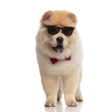 elegant chow chow wearing sunglasses stands on white background with blue tongue exposed and looks to side
