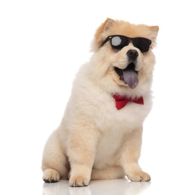 curious chow chow wearing red bowtie and sunglasses sitting on white background and looking up to side