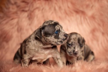 Scared American Bully puppies sitting