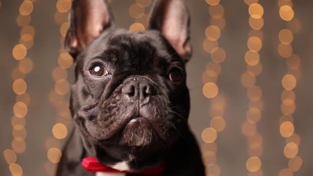imádnivaló francia bulldog néz egyik oldalról a másikra, körülnéz, visel piros csokornyakkendő és ül szürke háttér