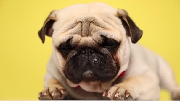 aranyos álmos mopsz kutya visel piros csokornyakkendő, fekvő, pislogó lassan, pihenteti a fejét a mancsait, elalszik a sárga háttér