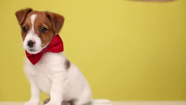 jack russell terrier cub dog looking away, sitting aside, wearing a red bowtie and walking away on yellow background