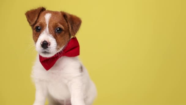 young jack russell terrier dog sitting against yellow background, wearing a red bowtie, looking at the camera, bowing his head and walking away against yellow background
