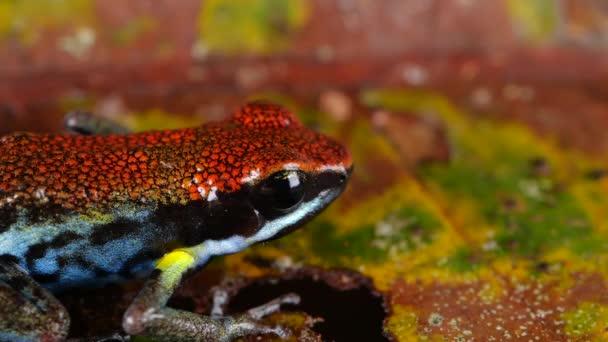 Ecuadorianischer Giftfrosch, Ameerega bilinguis, Zeitlupenvideo