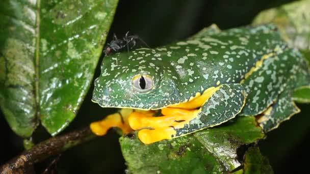 Video von Amazonas-Laubfrosch, Cruziohyla craspedopus und Ameise