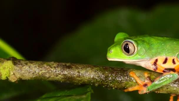 video skákání tygr pruhované listí žába na větvi stromu, Phyllomedusa tomopterna