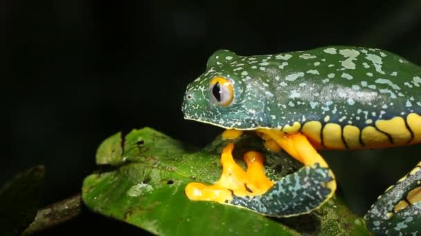 Langsames Video von Amazonas-Laubfrosch auf Pflanze Cruziohyla craspedopus