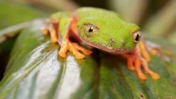 video žáby listové, Agalychnis hulli mrkne očima, deštný prales Ekvádoru