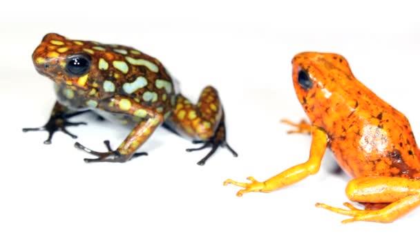 video dvou žáby ve studiu, Harlekýn jedovaté žáby, západní Ekvádor, Durango a Lita