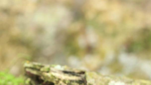 video malované mravenčí žáby, Leptodactylus lineatus odpočívající na houbě v kaštanovém pralese, Ekvádor