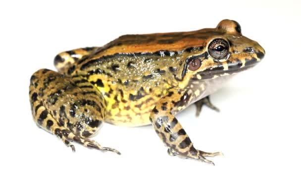Video von Amphibientier, Frosch im Studio, Bulun Weißlippenfrosch, Leptodactylus ventrimaculatus