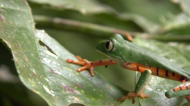 video Tygr pruhované listí žába v přírodě, Phyllomedusa tomopterna