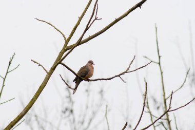 Spotted Dove rests in a branch