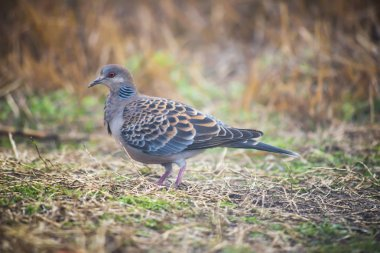 Close up beautiful Spotted Dove