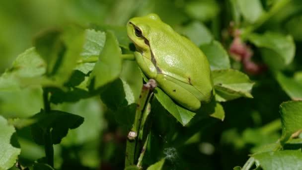 Levelibéka - Berke arborea, egy oldal kilátás-ban - a napozás - makro lövés Uhd