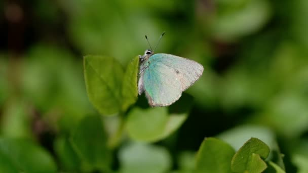 Green Hairstreak - Callophrys rubi in a macro shot