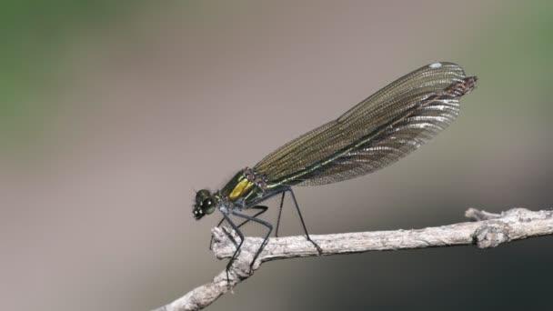 Női sávos szitakötő - Calopteryx splendens makróval lövés - ül, és elrepül