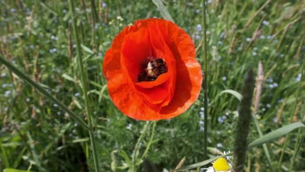 Čmelák na makových květů a uletí - makro záběr v pomalém pohybu
