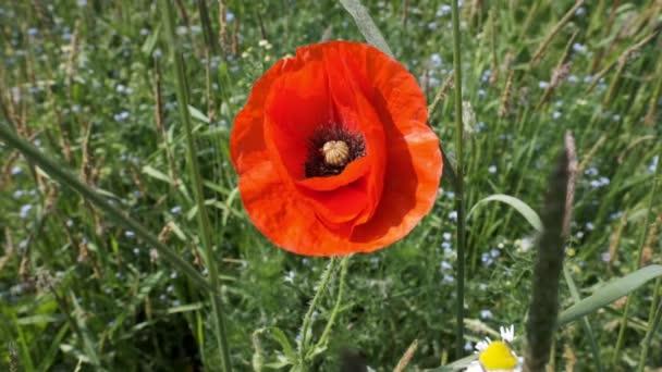 Poppy flower - Papaver - macro shot in slow motion