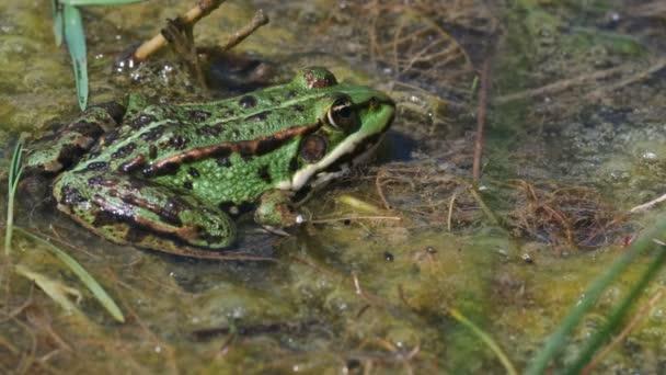 Grüner Frosch - pelophylax esculentus im Sumpf - Detailaufnahme