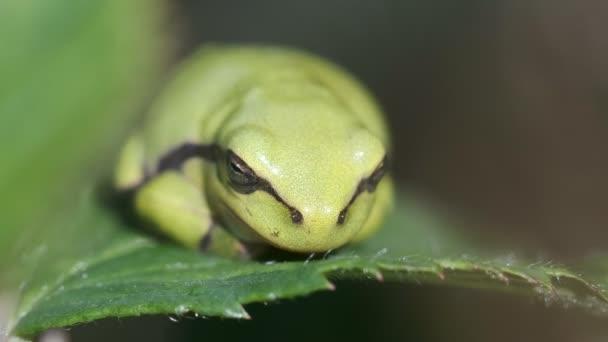 Tree Frog - Hyla arborea - young animal sunbathing - macro shot