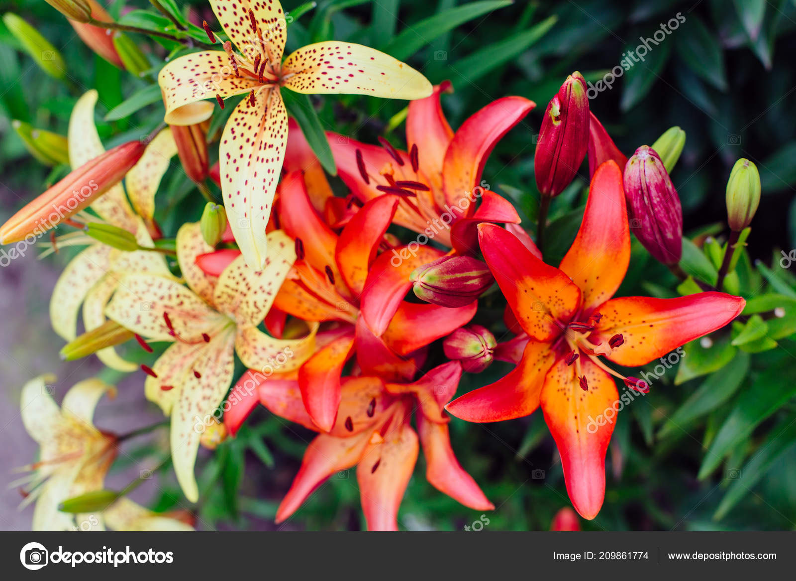 Beautiful Colorful Lilies Garden Tiger Lily Stock Photo