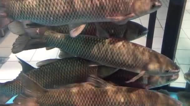 Živý kapr ryby plavat v akváriu na trhu.
