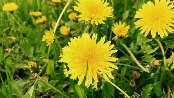 Dandelví květiny na poli