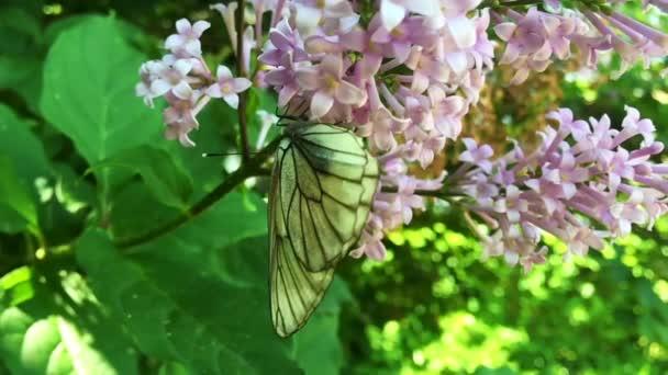 Fehér káposzta pillangó Pieris melltartó ül orgonavirág. Lassú mozgás.
