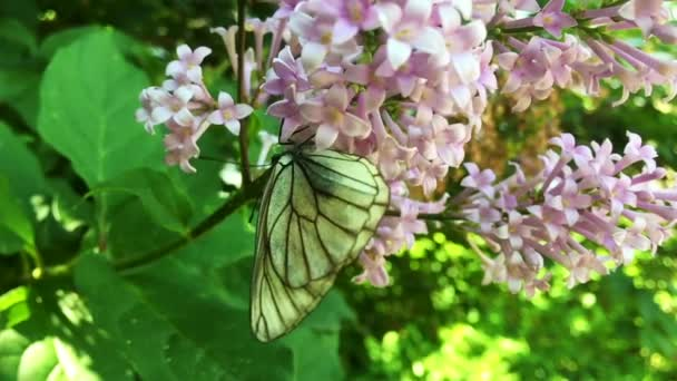 White cabbage butterfly Pieris brassicae sitting on lilac flower. Slow motion
