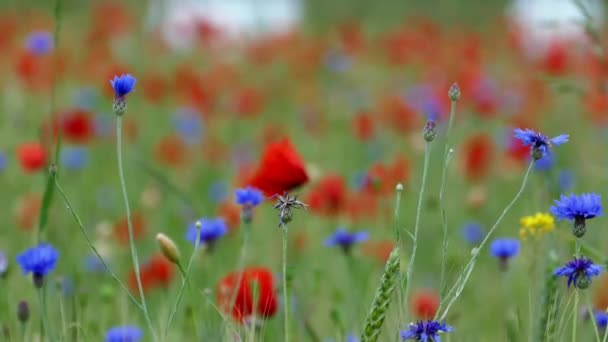 piros pipacs virágok, a zöld mezőben